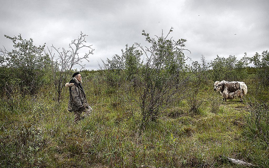Betande jak på tundra i Sibirien