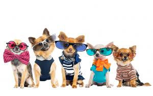 Små hundar med kläder och solglasögon