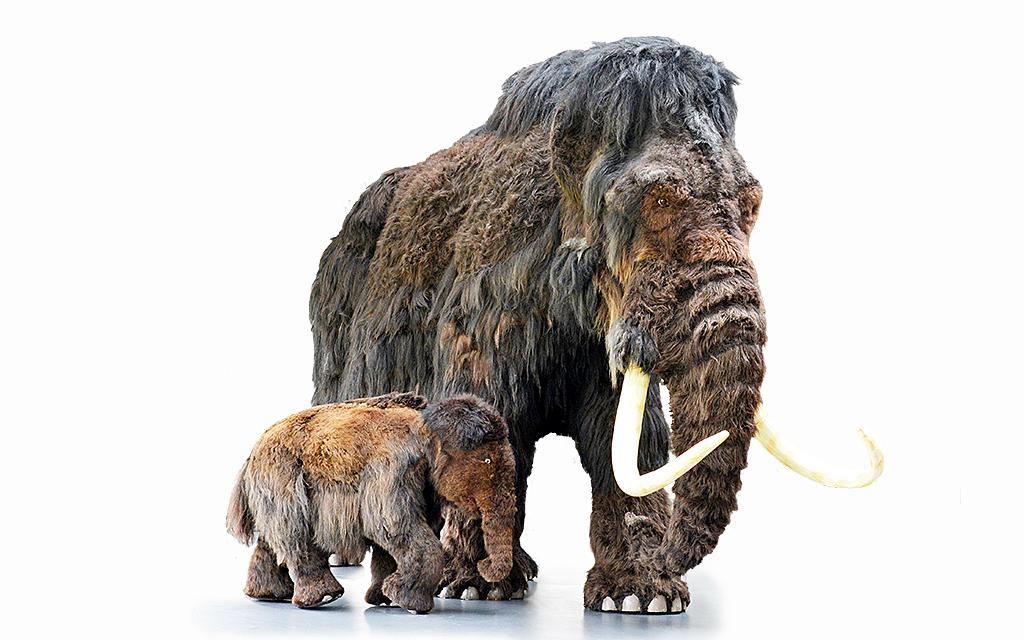 Uppstoppade mammutar på museum